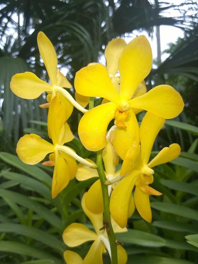 Żółta Aranda Singa złota orchidea zdjęcie royalty free