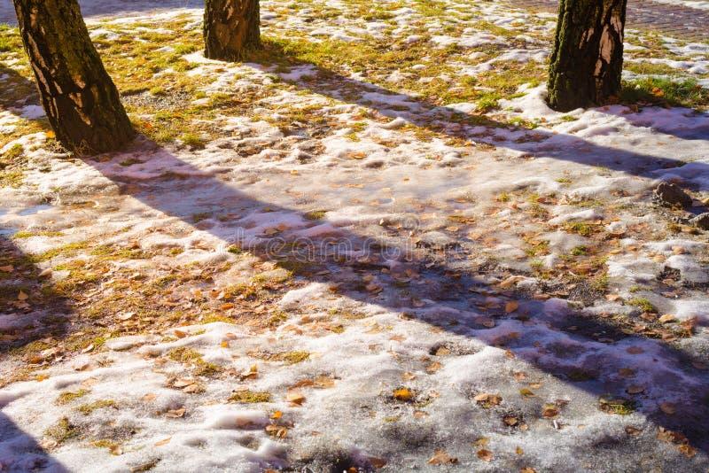 Żółta brzoza opuszcza pod śniegiem, topiącym z światłem słonecznym obrazy royalty free