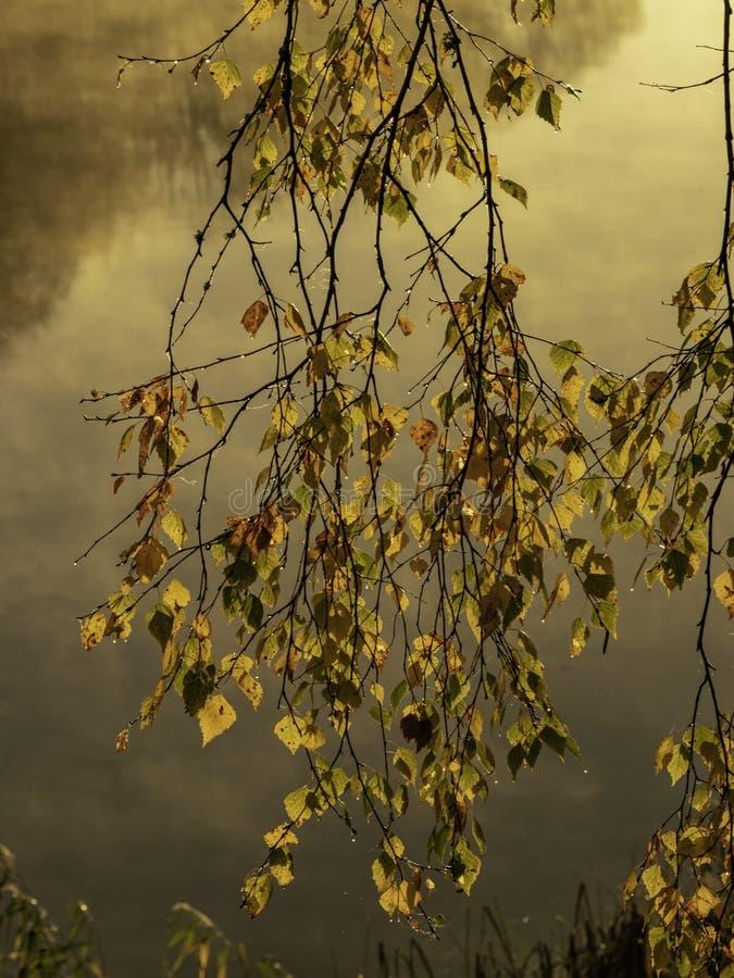 Żółta brzoza rozgałęzia się w przedpolu obraz royalty free