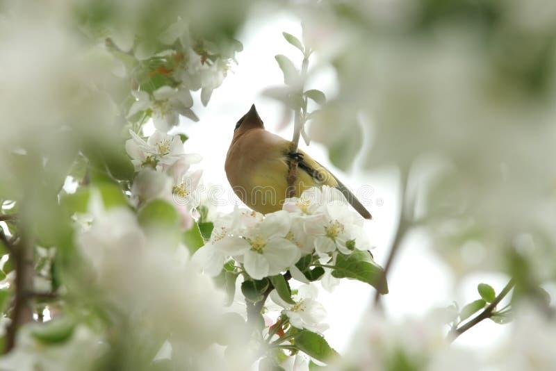 Żółta cedrowa jemiołucha w drzewie zdjęcie royalty free