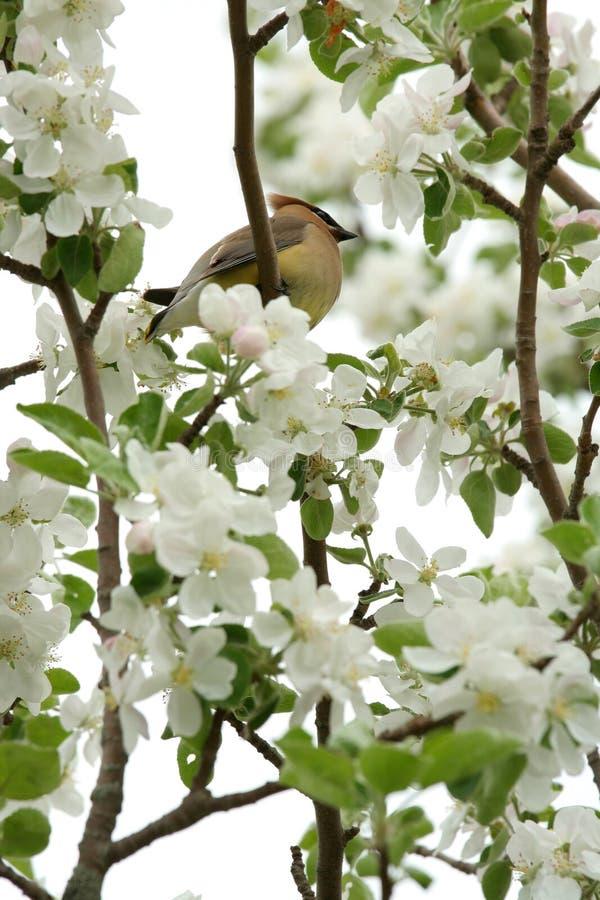 Żółta cedrowa jemiołucha w drzewie zdjęcia stock