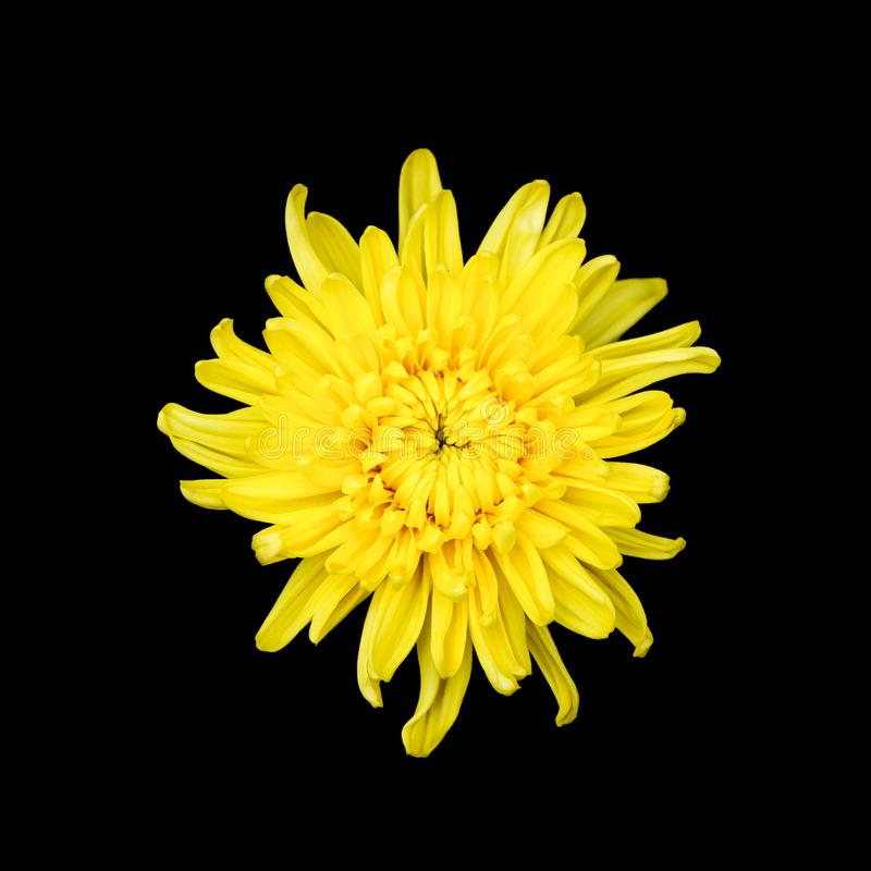 Żółta chryzantema na czarnym tle zdjęcia royalty free