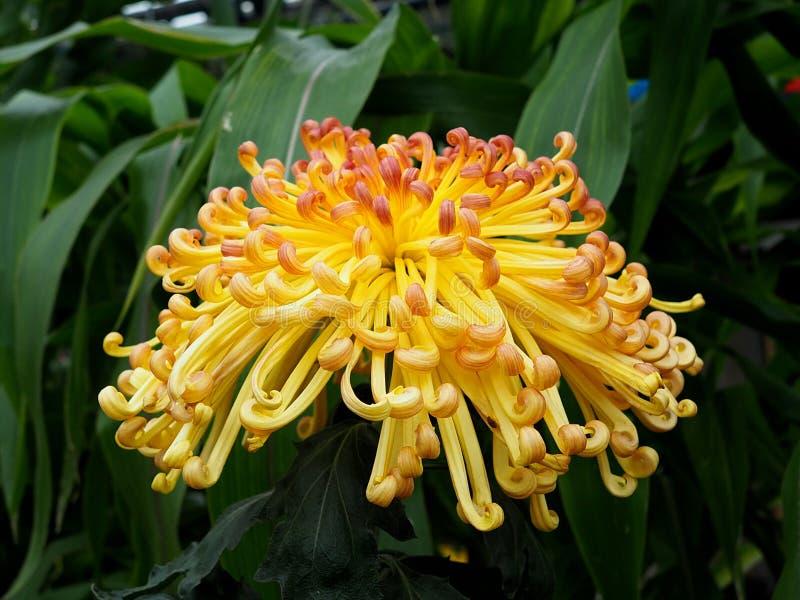 Żółta chryzantema Z Kędzierzawymi płatkami zdjęcia royalty free