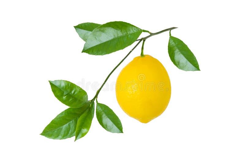 Żółta cytryny owoc na gałąź z liśćmi odizolowywającymi na białym tle obrazy stock