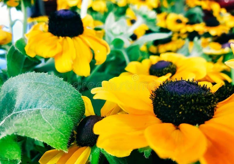 Żółta czarnookiego Susan stokrotka Kwitnie w kwiacie zdjęcie royalty free