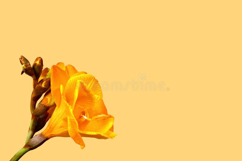 Żółta frezja na białym tle dobro - mały fotografia royalty free