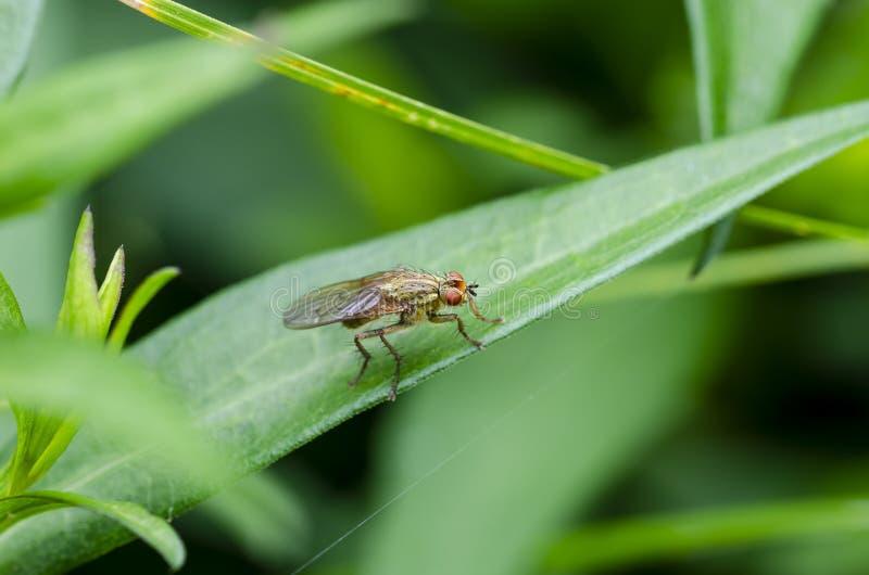 Żółta Gnojowa komarnica na trawie obraz stock