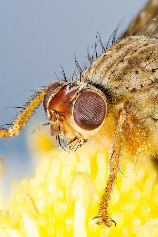 Żółta Gnojowa komarnica, Scathophaga stercoraria obraz stock