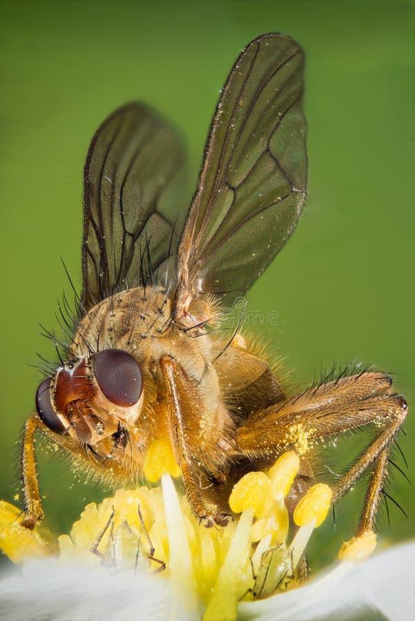 Żółta Gnojowa komarnica, Scathophaga stercoraria zdjęcia stock