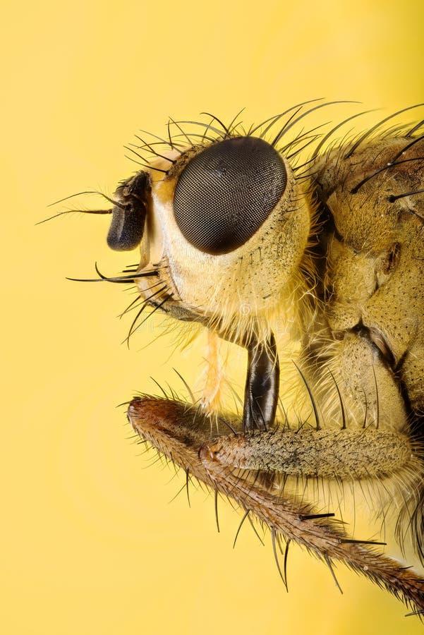 Żółta Gnojowa komarnica, Scathophaga stercoraria zdjęcia royalty free