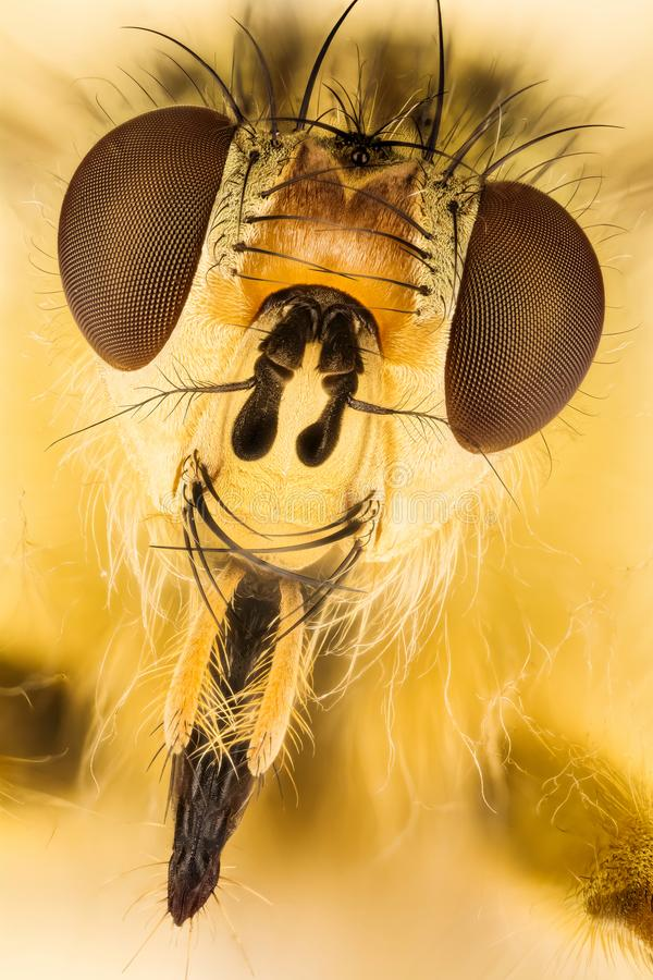 Żółta Gnojowa komarnica, komarnica, Scathophaga stercoraria fotografia stock