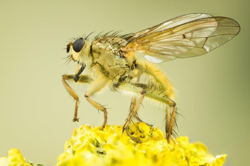 Żółta Gnojowa komarnica, komarnica, Scathophaga stercoraria obrazy stock