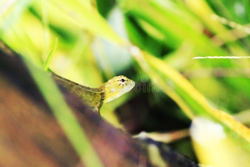 Żółta jaszczurka na liści zwrotach wyprostowywa zdjęcie royalty free