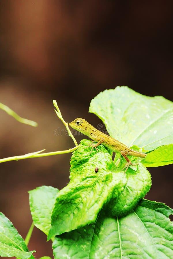 Żółta jaszczurka na liści zwrotach wyprostowywa obraz stock