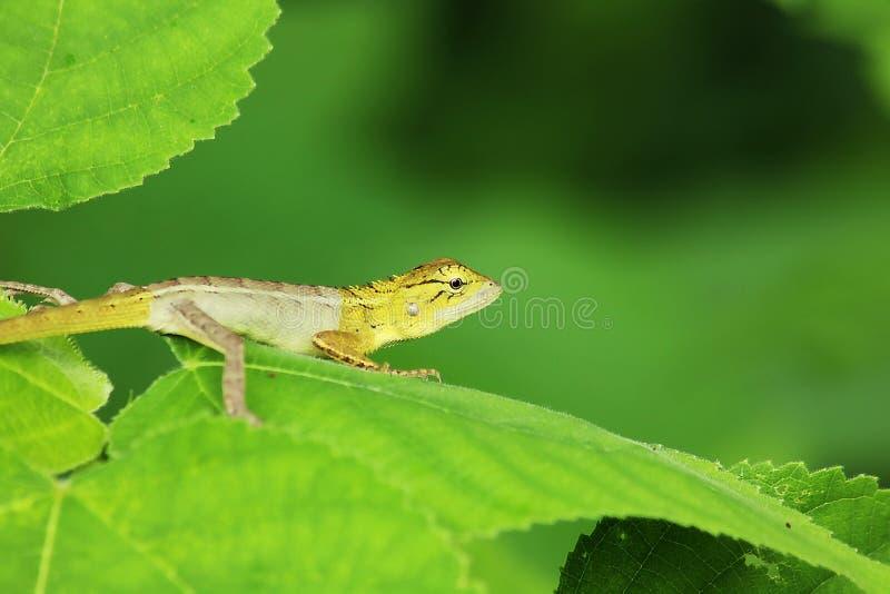 Żółta jaszczurka na liści zwrotach wyprostowywa fotografia royalty free