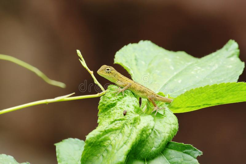 Żółta jaszczurka na liści zwrotach wyprostowywa zdjęcia royalty free