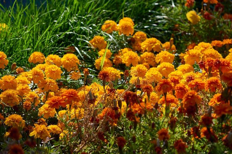 Żółta jesień kwitnie w trawie obraz stock