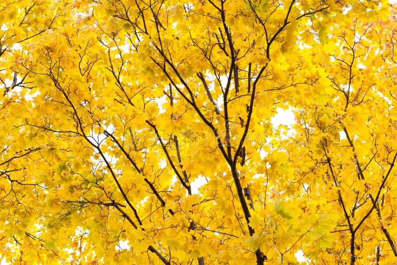 Żółta jesień w parka wciąż życia scenie Klonowa gałąź i liście, nieba tło krajobrazu lasów naturalnych zdjęcie stock