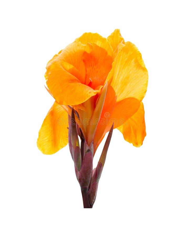 Żółta kanny leluja kwitnie na białym tle Ścinek ścieżka obraz stock