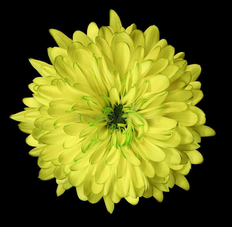 Żółta kwiat chryzantema, ogrodowy kwiat, czerni odosobnionego tło z ścinek ścieżką zbliżenie Żadny cienie zielony centre fotografia royalty free