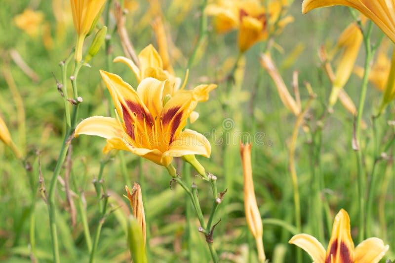 Żółta kwiat leluja na tle zieleń park Żółta leluja zamknięta w górę zamazanego tła zieleń dalej opuszcza na słonecznym dniu w t zdjęcie stock