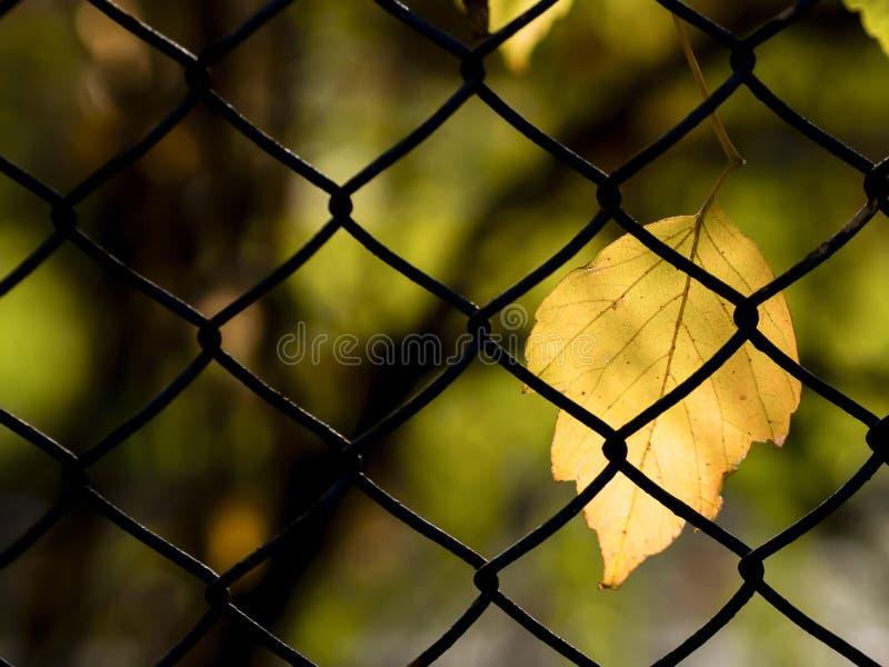 Żółta liścia i plamy tła pozycja na drucianej siatce w jesieni zdjęcia stock