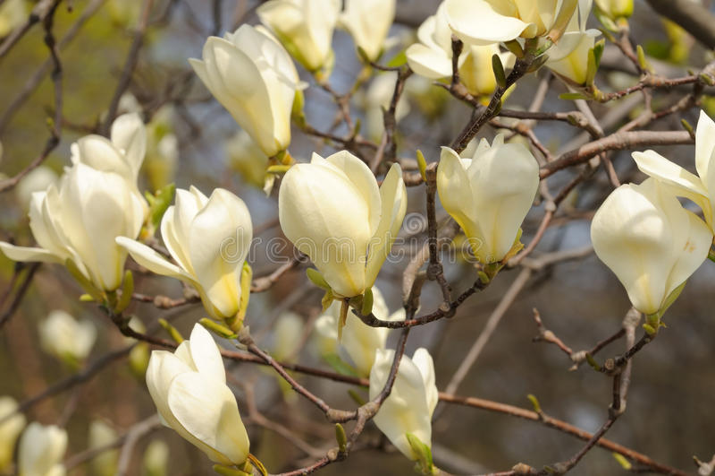 Żółta Magnolia zdjęcia royalty free