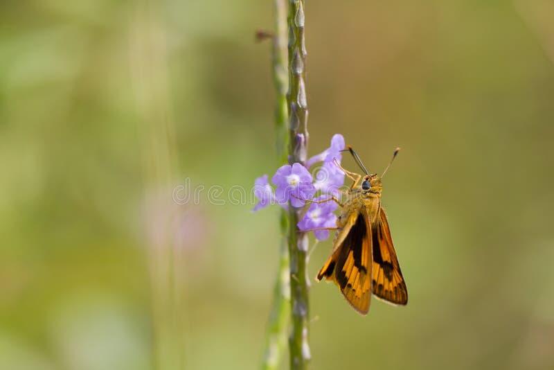 Żółta Palmowa strzałka - motyl obrazy stock
