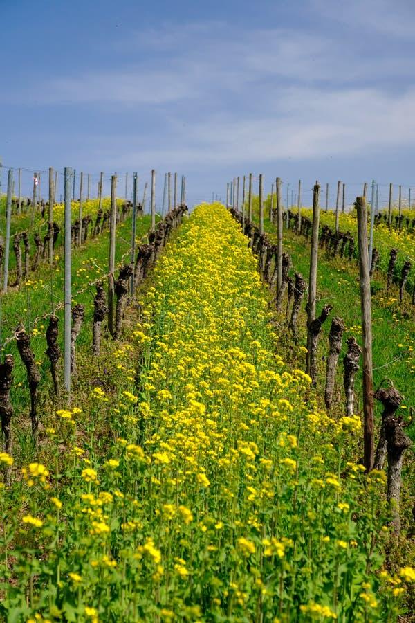 Żółta powódź dandelions w winnicy obrazy royalty free