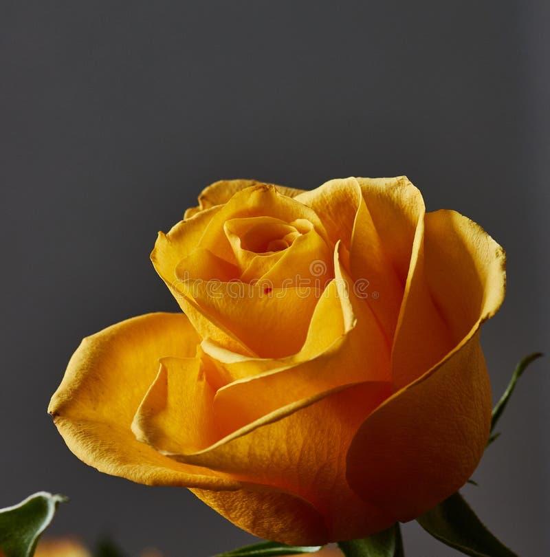 Żółta róża Pączek, płatki, bukiet obrazy royalty free