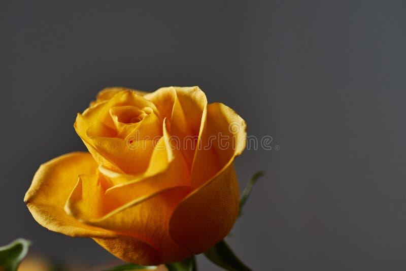 Żółta róża Pączek, płatki, bukiet zdjęcia royalty free