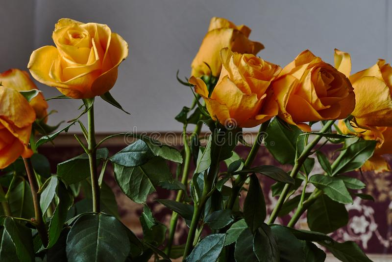 Żółta róża Pączek, płatki, bukiet zdjęcie royalty free