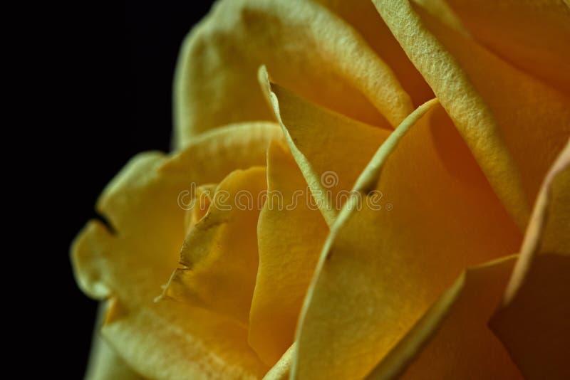 Żółta róża Pączek, płatki, bukiet zdjęcia stock