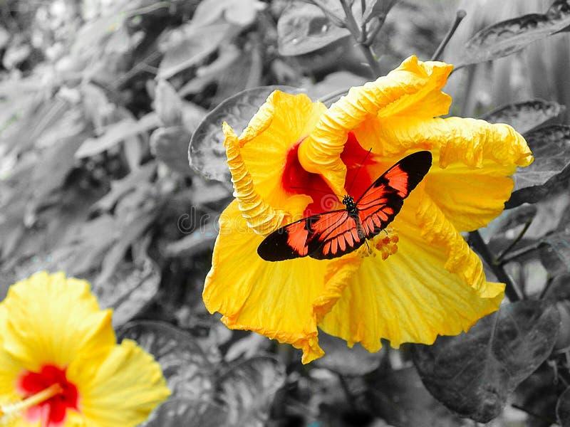 Żółta ranunculus kwiatu wycinanka na czarnym tle obraz royalty free