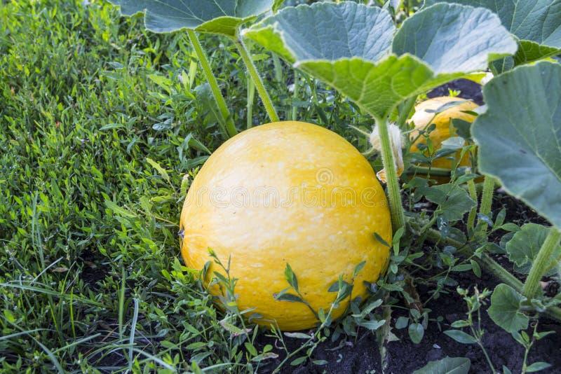 Żółta round bania r w ogródzie na melonie zdjęcia stock