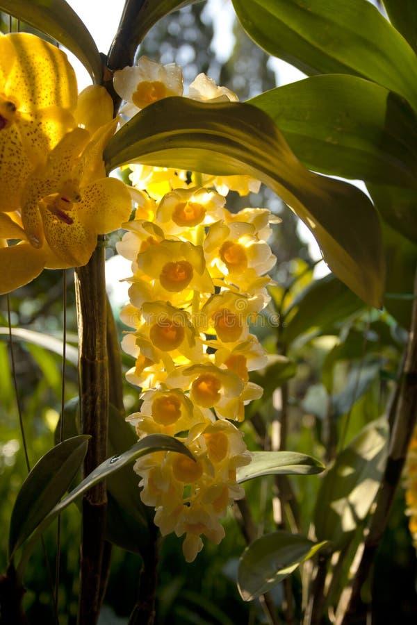 Żółta rzadka orchidea zdjęcie royalty free