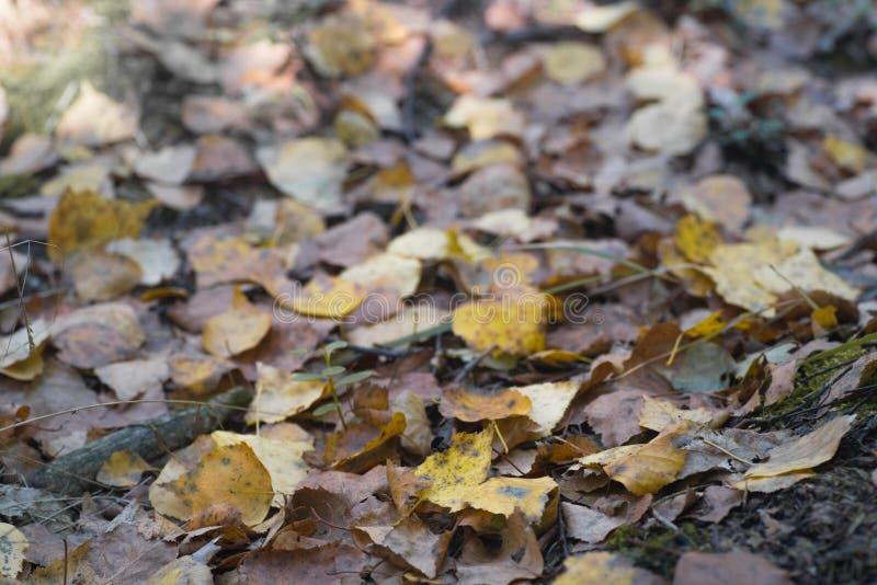 Żółta spadać jesieni brzoza opuszcza makro- obrazy royalty free