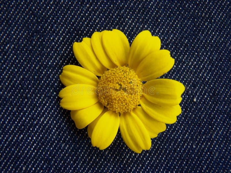 Żółta stokrotka odizolowywająca na niebiescy dżinsy tle fotografia stock