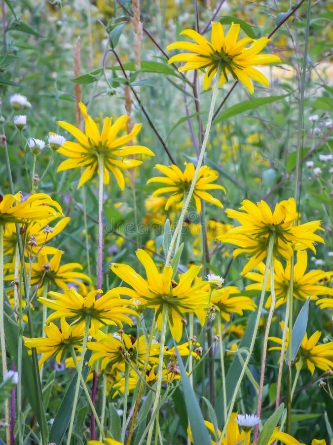 Żółta stokrotka, Z Podbitym Okiem Susan spód obrazy stock