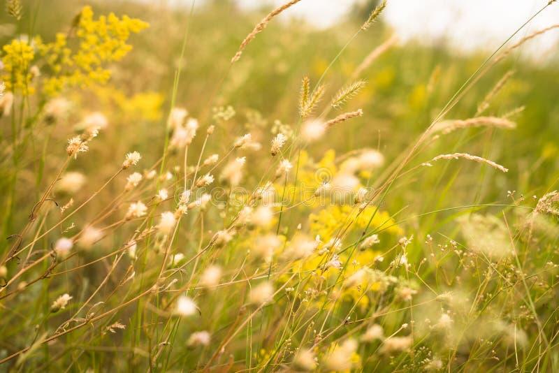 Żółta trawa w łące obraz stock