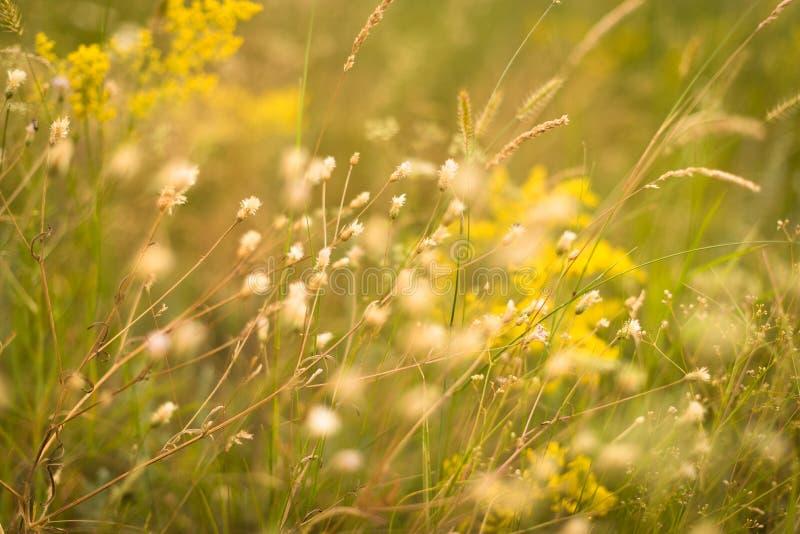 Żółta trawa w łące zdjęcie royalty free