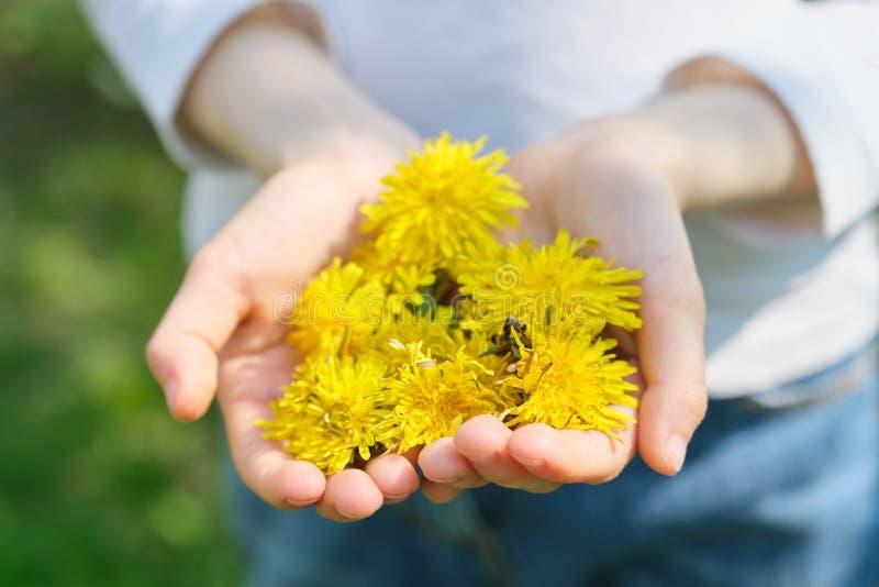 Żółta wiosna kwitnie dandelions w rękach dziewczyna, w górę odgórnego widoku zdjęcie royalty free