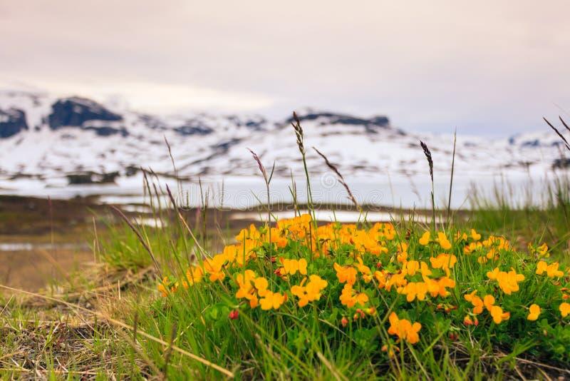 Żółta wiosna kwitnie w norweskich górach fotografia stock