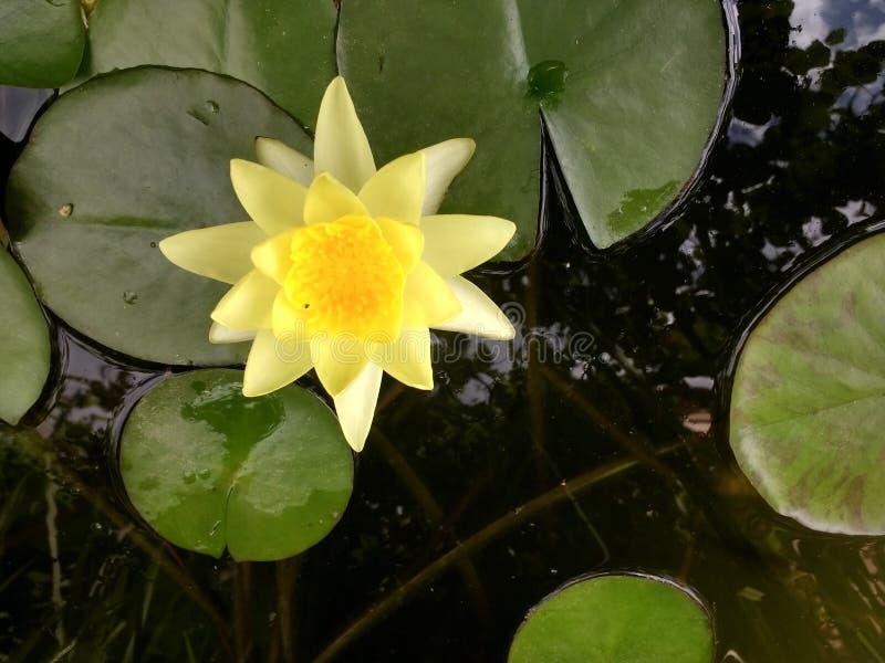 Żółta wodna leluja w rzece obrazy royalty free