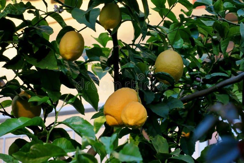 Żółte cytryny wiesza na drzewie pośród zielonych liści zdjęcie stock