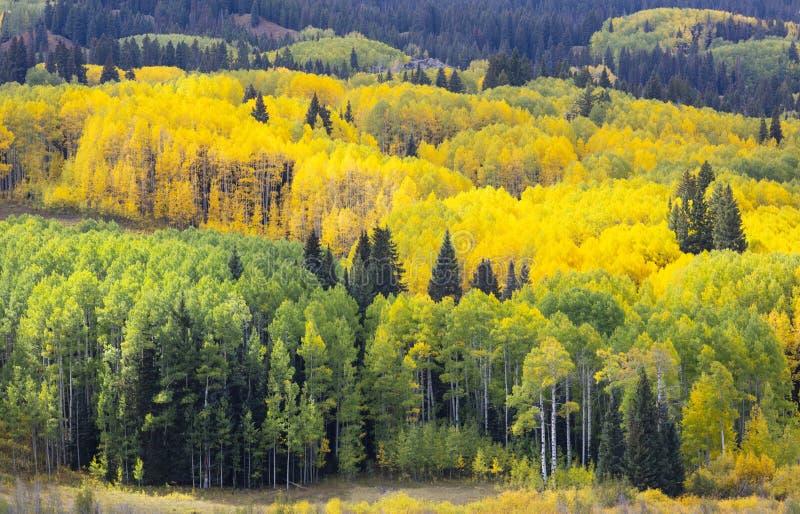 Żółte drzewa Aspen w Kolorado Foliage zmienia kolor na żółty w Autumn Kebler Pass Crested Butte America zdjęcie stock