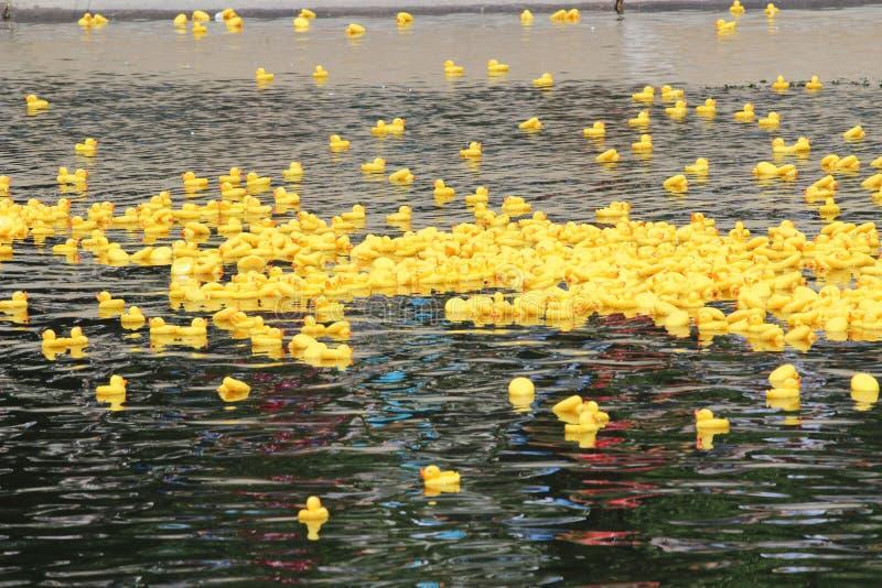 Żółte kaczki obraz royalty free