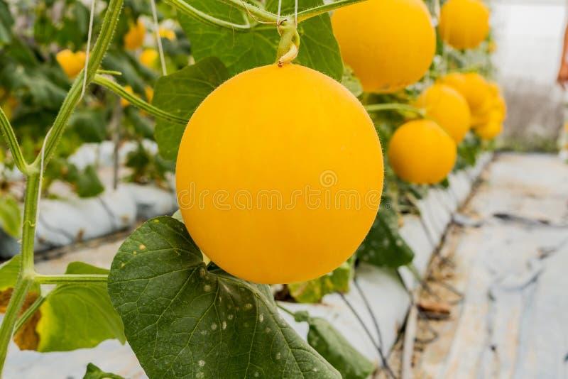 Żółte kantalupów melonów rośliny r w ogródzie zdjęcia royalty free