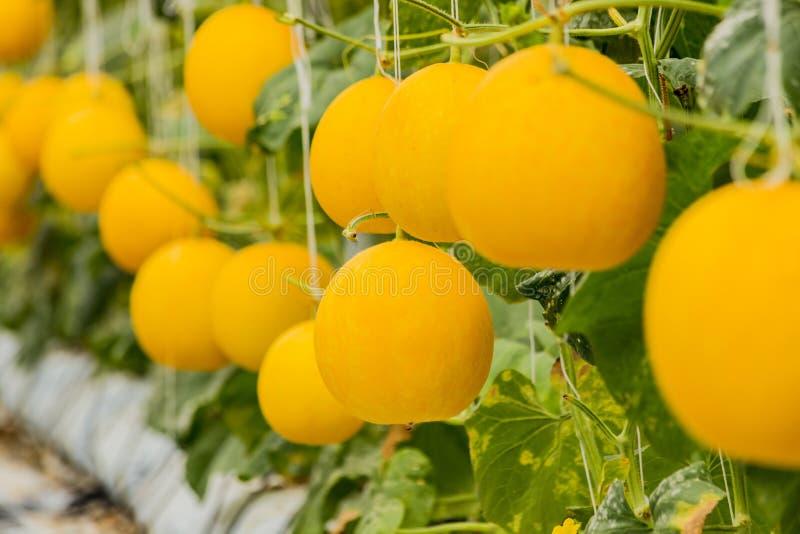 Żółte kantalupów melonów rośliny r w ogródzie zdjęcie stock