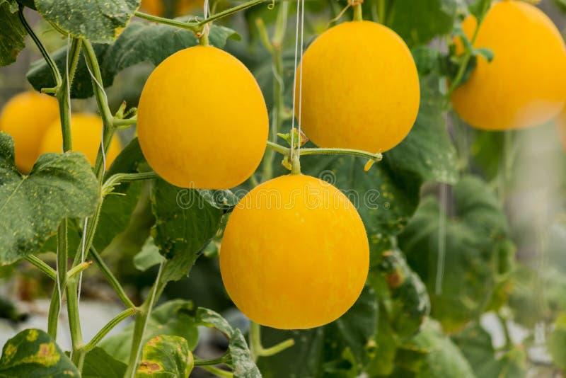 Żółte kantalupów melonów rośliny r w ogródzie obrazy royalty free